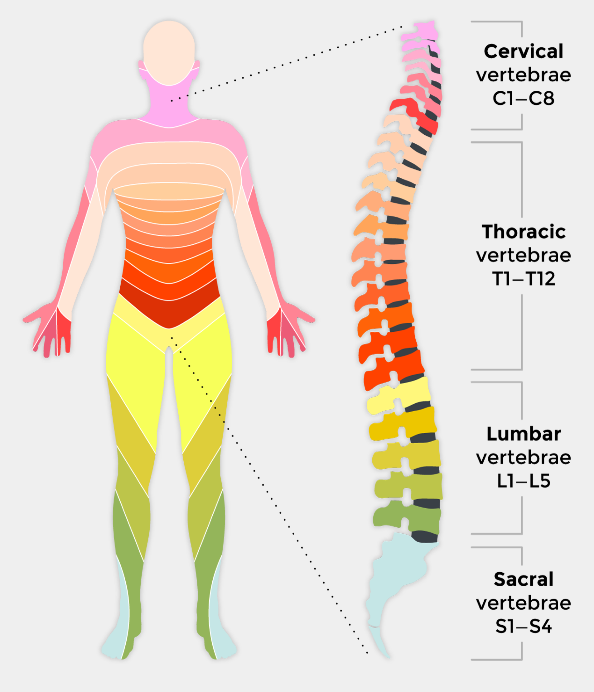Spinal Cord Diagram showing all levels of injury